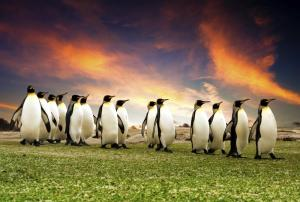 Penguins on green grass with orange sunset Falkland Islands